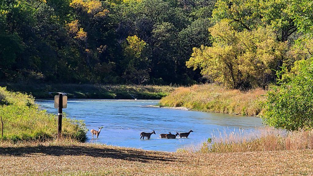 Niobrara River with 5 deer in the water